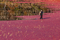 Jason Gingras corrals cranberries using a boom during the cranberry harvest.