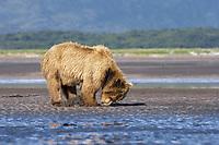 Carol digs for clams. Kodiak grizzly bear (Ursus arctos middendorffi), Hallo Bay