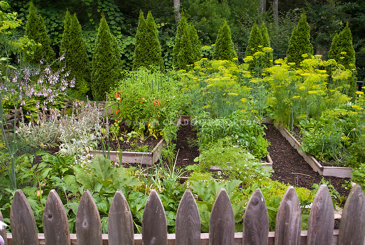 Vegetable garden edibles with flowers, herbs, tomatoes, peppers,picket fence, raised beds, hostas in flower, evergreen tree border, mulch