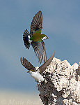 Violet-green Swallows (Tachycineta thalassina) two males taking flight from perch on tufa tower, Mono Lake, California, USA (Vertical crop)
