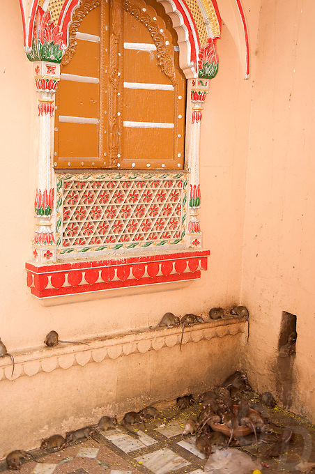 """Near the desert town of Bikaner is  Deshnoke, here you find the temple of the Gajner Palace. 30 Km from Bikaner, the 600 -year old temple is dedicated to Karni Mata. .It plays host to thousands of rats. The rats are considered sacred and worshipped. .Karni Mata, born in the 14th century, was an incarnation of Durga, the goddess of power and victory. During her lifetime she performed many miracles.. Near the town of Bikaner is Deshnoke, you find the temple of the Gajner Palace. 30 Km from Bikaner, the 600 -year old temple is dedicated to Karni Mata.<br /> It plays host to thousands of rats. The rats are considered sacred and worshipped.<br /> The temple has huge intricately silver gates donated by Maharaja Ganga Singh.<br /> <br /> Rats running all over the place, every corner and niche was crawling with them.<br /> Temple priests tend to the rats by constantly refilling large bowls of milk and in the heart of the temple, the shrine, there is a huge bowl filled with Prasad (sugar balls). <br /> It is also highly likely, if not a certainty, that a """"holy rat"""" will run over your feet, if so, it is considered a blessing.<br /> If a white rat is sighted then you are especially spiritually graced. Eating food or drinking water that previously has been sampled by a rat is considered to be a supreme blessing"""