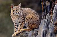 611006056 a captive bobcat felis rufus sits on a limb of a large dead tree in central montana