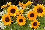 HELIANTHUS ANNUS 'SUNRICH LEMON SUMMER', SUNFLOWER