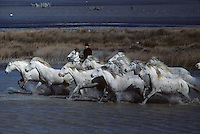 Europe/France/Provence-Alpes-Côte d'Azur/13/Bouches-du-Rhône/Camargue : Chevaux de race Camargue [Non destiné à un usage publicitaire - Not intended for an advertising use]