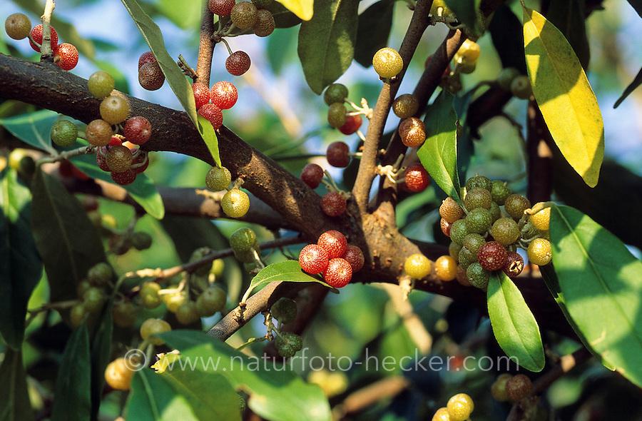 Reichblütige Ölweide, Elaeagnus multiflora, Cherry Elaeagnus, Oleaster