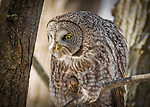 A Great Gray Owl has his eye on some prey and appears to be getting his talons ready.