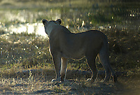 A lion (panthera leo) on its way to the river for an early morning drink.<br /> The Khwai side of Moremi in the Okavango Delta, Botswana.