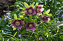 Helleborus croaticus, late February.
