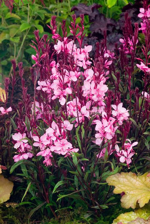 Gaura passionate blush plant flower stock photography gaura passionate blush dense compact pink flowering perennial with heuchera in garden mightylinksfo