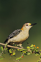 Golden-fronted Woodpecker, Melanerpes aurifrons,male on Desert Hackberry (Celtis pallida), Willacy County, Rio Grande Valley, Texas, USA, May 2004