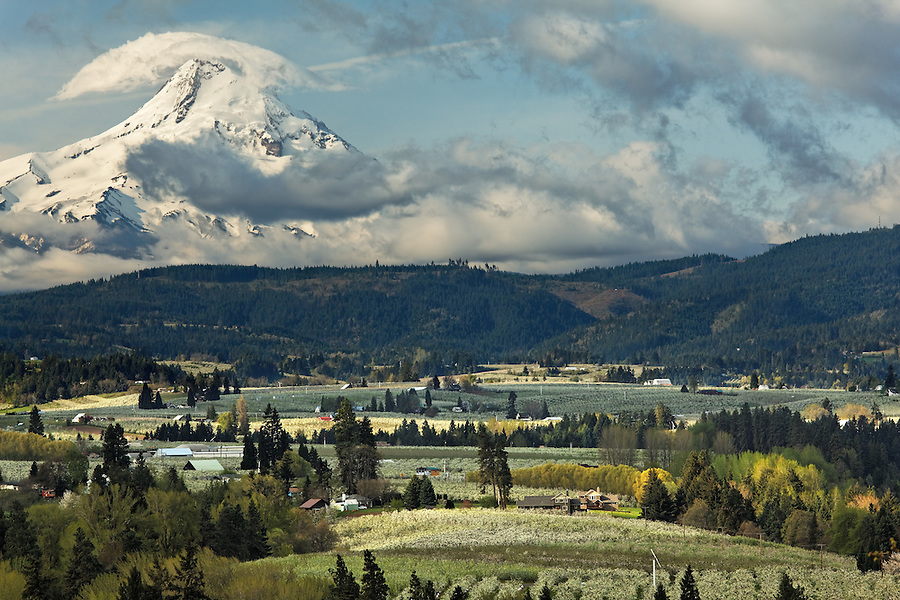 Flowering orchard below Mount Hood, Hood River, Oregon, USA