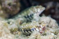 Sharpnose Sandperch, Parapercis cylindrica, on sand, Gili Lawa Laut Island, north of Komodo Island, Komodo National Park, Indonesia, Indian Ocean