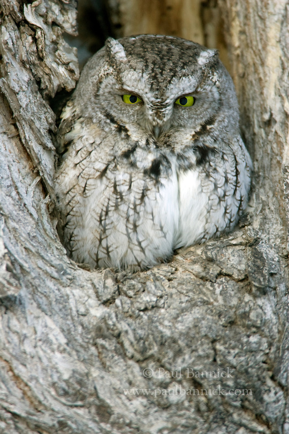 An Eastern Screech Owl, Megascops asio,  peers from his roost cavity in Winnipeg, Manitoba.