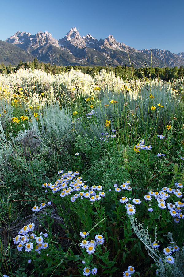 Wildflower meadow and sage brush below the Grand Teton in early morning, Grand Teton National Park, Teton County, Wyoming, USA