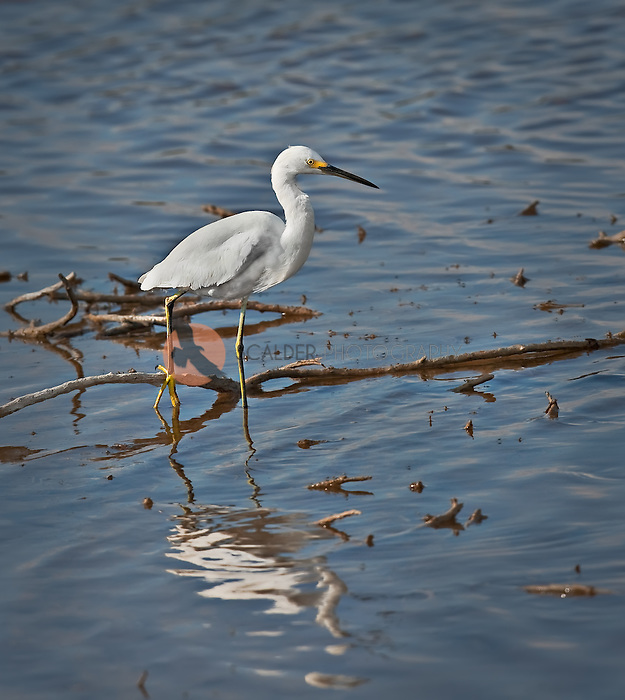 Snowy Egret standing in water with one &quot;yellow slipper&quot;<br /> perched on a branch