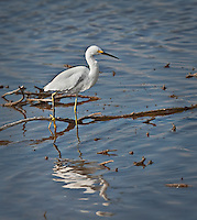 "Snowy Egret standing in water with one ""yellow slipper""<br />