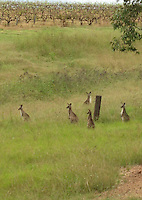 Kangaroos in vineyard, Australia