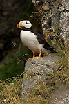 Horned Puffins on Bird Island in Lake Clark National Park.
