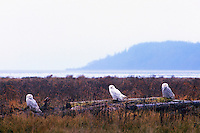 Snowy Owls (Bubo scandiacus) Female or Juvenile, sitting on Log at Boundary Bay Regional Park, Delta, BC, British Columbia, Canada - aka Arctic Owl, Great White Owl or Harfang.