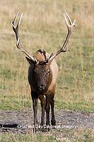 01980-03020 Elk (Cervus elaphaus) bull male, Yellowstone National Park, WY