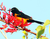 Black-vented oriole at coral bean blossom