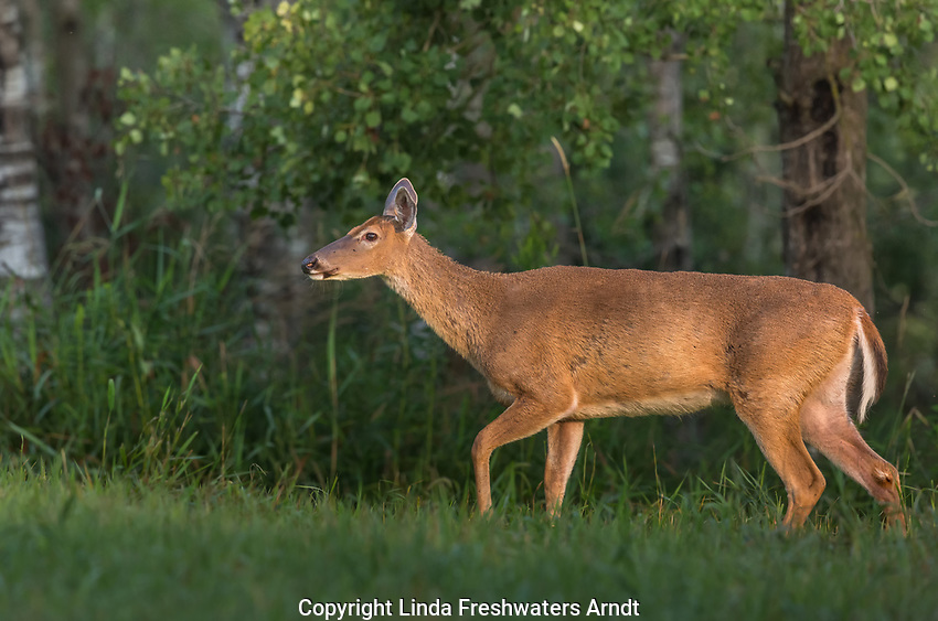 Cautious white-tailed doe in a summer field.