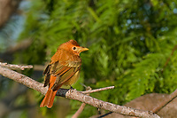 580980007 a wild spring transition plumage male summer tanager piranga rubra perches on a tree limb on south padre island on the texas gulf coast