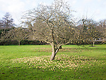 Concept shot of apples fallen from a tree rotting on the ground in winter, UK