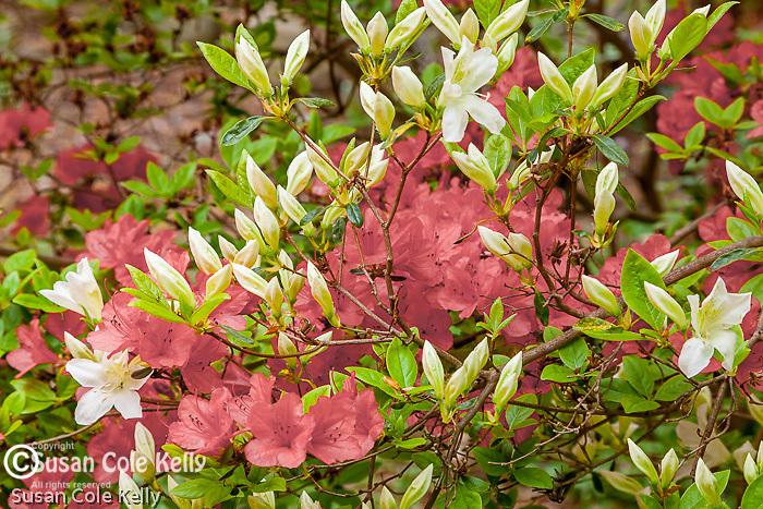 Azaleas at Long Hill gardens in Beverly, Massachusetts, USA