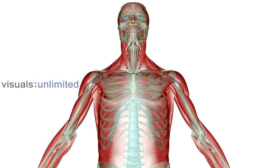 An anterior view of the musculoskeleton of the upper body. Royalty Free
