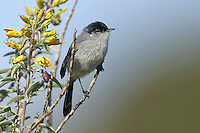 California Gnatcatcher - Polioptila californica - Adult male breeding