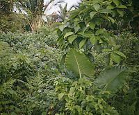The jungle in Siberut.