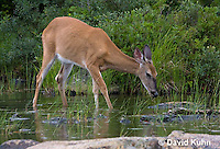 0623-1028  Northern (Woodland) White-tailed Deer Eating Wetland Grass, Odocoileus virginianus borealis  © David Kuhn/Dwight Kuhn Photography