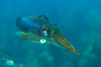 Caribbean reef squid (Sepioteuthis sepioidea)<br />