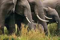 African Elephants--part of a cow/calf herd.  Africa.