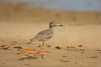 Senegal Thick-knee - Burhinus senegalensis