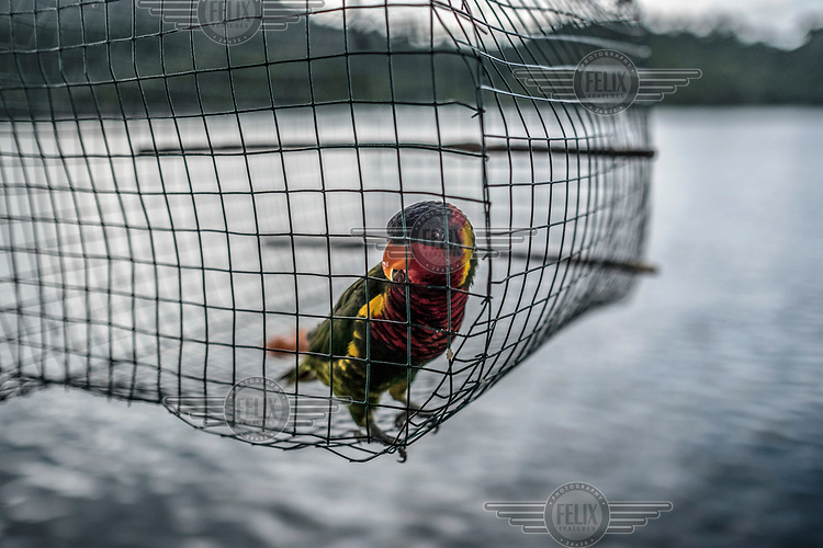 A pet parrot stands in a cage outside a shop in the Bajau stilt village of Pulo Papan.
