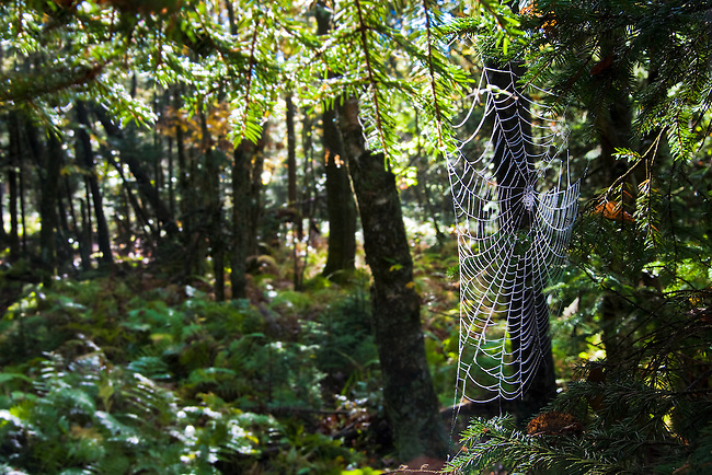 Spiderweb and ancient forest, Unaka Mountain Summit, Appalachian Trail
