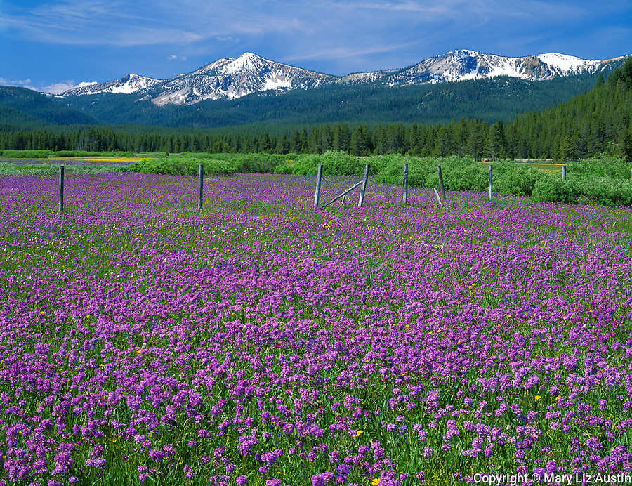 Sawtooth National Recreation Area, ID<br /> Weathered rail fence in a meadow of Rydberg's penstemon (penstomen rydbergii) in the Challis National Forest with Sawtooth Range in the distance