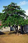 Local almond tree, Cayman Brac, Cayman Islands, British West Indies,
