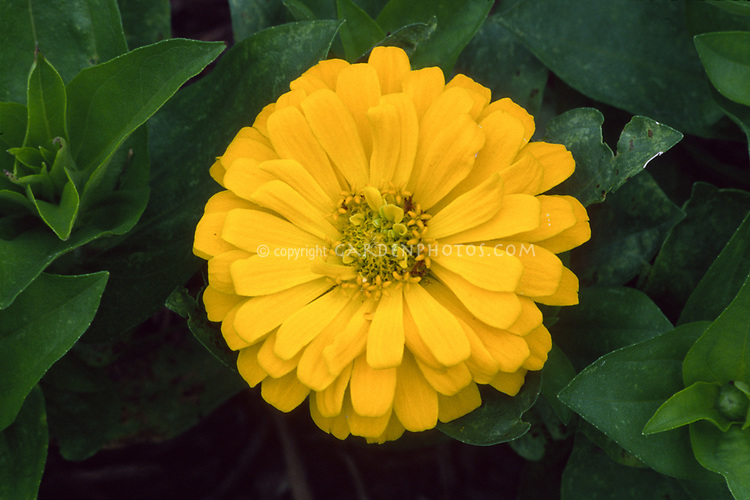 Zinnia yellow flower