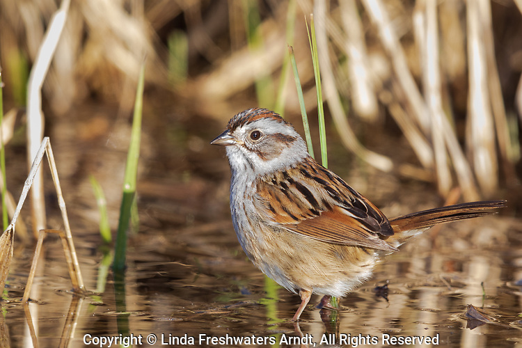 Swamp sparrow foraging on the shoreline of a wilderness lake in northern Wisconsin.