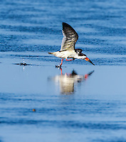 Black Skimmer taking off in flight from water surface
