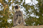 ANURADHAPURA, TEMPLE OF SRI MAHA BODHI, ANURADHAPURA DISTRICT, NORTHERN CENTRAL PROVINCE, SRI LANKA...GREY LANGUR, CEYLON-HULMAN, (SEMNOPITHECUS PRIAM THERSITES), (PRESBYTIS SEMNOPITHECUS ENTELLUS PRIAM, GRZIMEKS TIERLEBEN SÄUGETIERE 1, SEITE 557), SCHLANKAFFEN, COLOBIDAE, 7/5 031,.NATURE, WILDLIFE, TREES, MAMMALS, ANIMAL, MONKEY, FAUNA, ..RELIGION, BUDDHIST, BUDDHA, HISTORICAL SITE, .BODHI-TREE, HOLY TREE, .THE TEMPLE OF SRI MAHA BODHI IS ONE OF THE MOST HOLY PLACES IN SRI LANKA...©Photo: Paul J.Trummer, Mauren / Liechtenstein www.travel-lightart.com