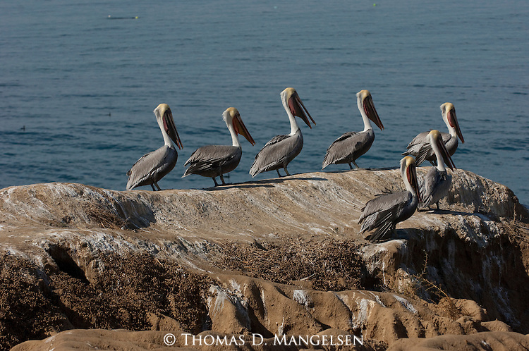 A group of brown pelicans stand on the La Jolla shore in California.
