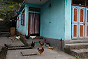 India - Sikkim - Chicken seen moving freely around a private house in a village. Most households have their own garden where they grow vegetables and raise cattle.