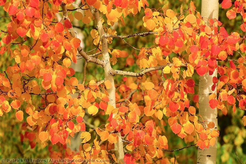 Orange aspen leaves, autumn, Denali state park, Alaska