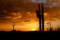 Saguaro Cactus at sunset in Southern Arizona.