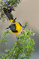 561850042 a wild audubon's oriole icterus graduacauda perches on a plant stem on santa clara ranch hidalgo county rio grande valley texas united states