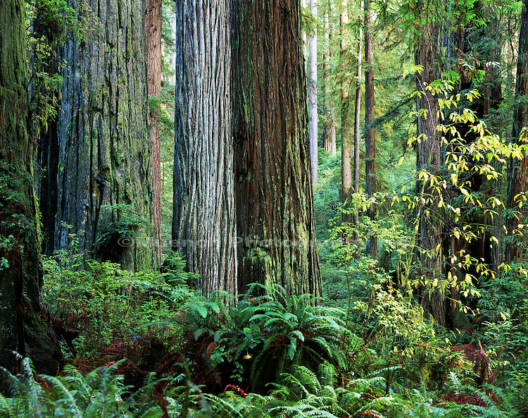 Prairie Creek Redwoods, CALIFORNIA, Redwood NP